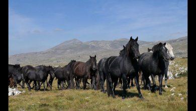 Divlji konji kod Livna